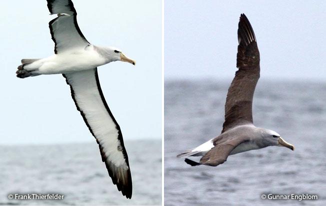 salvin's_albatross
