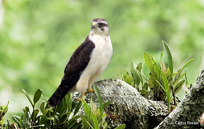 short-tailed_hawk