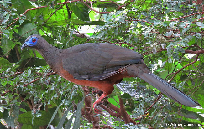 sickle_winged_guan
