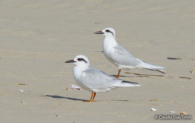 snowy-crowned_tern