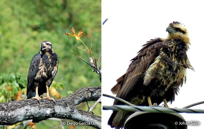 solitary-eagle