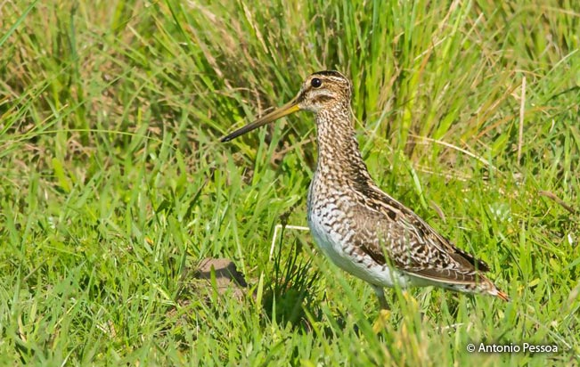 south_american_snipe