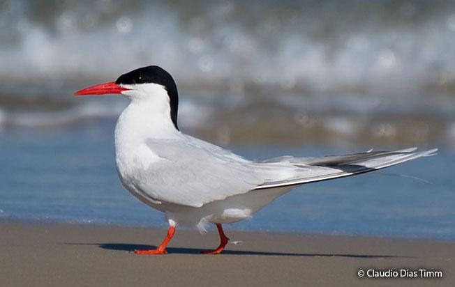 south_american_tern