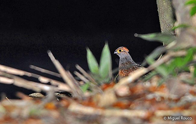 starred wood quail