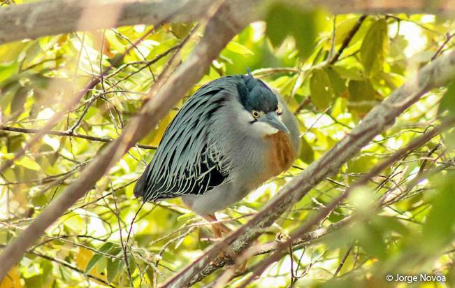 striated_heron
