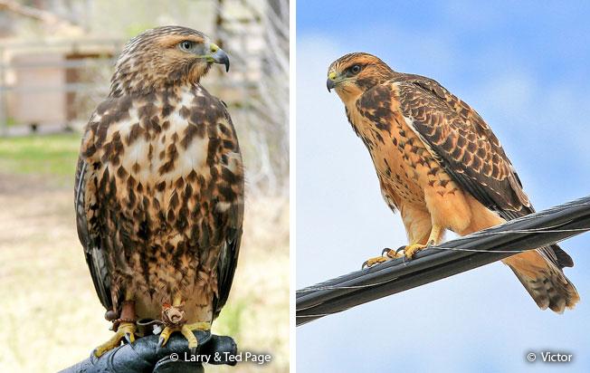 swainson's-hawk