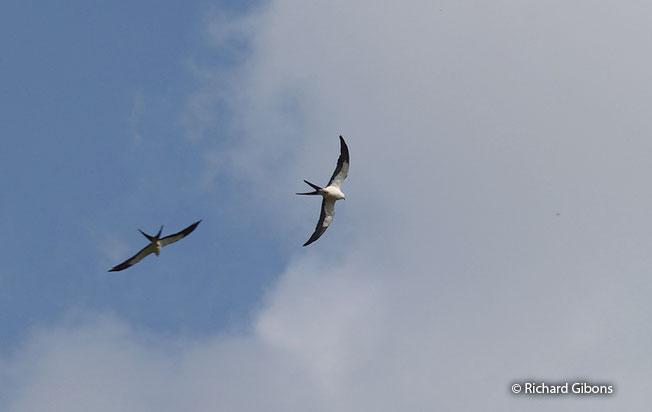 swallow-tailed-kite