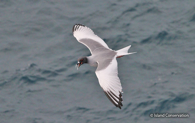 swallow-tailed_gull