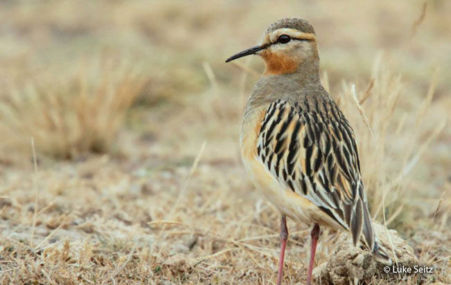 tawny-throated_dotterel