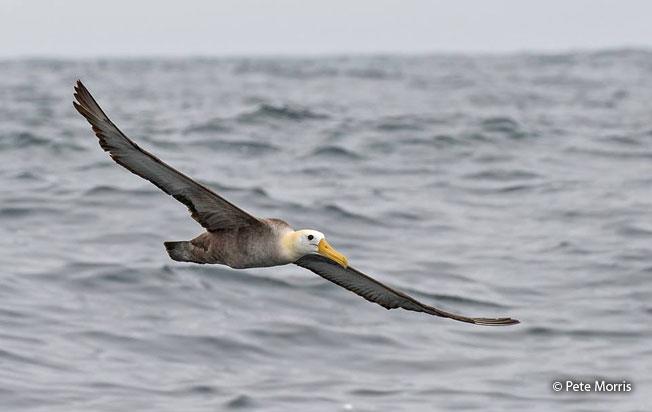 waved-albatross