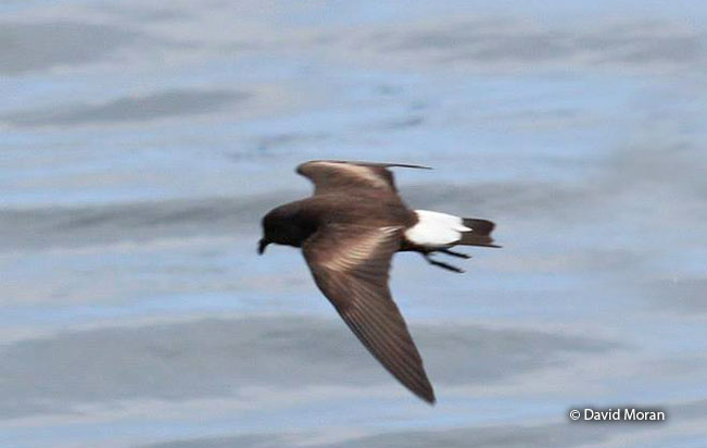 wedge-rumped_storm-petrel