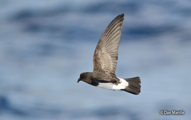 white-bellied-storm-petrel