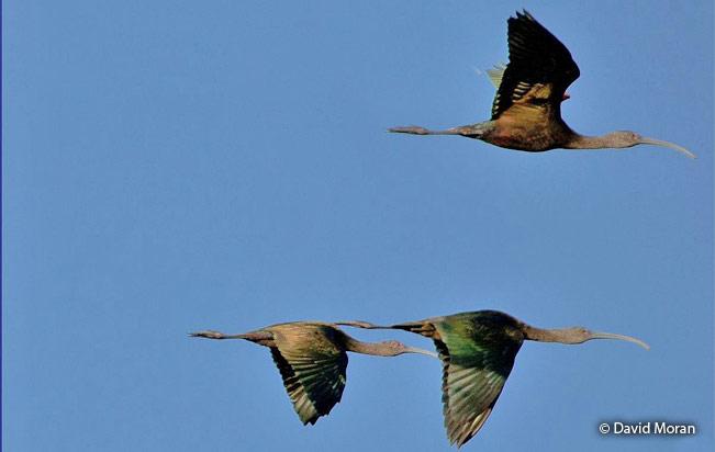 white-faced-ibis