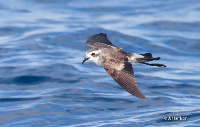 white-faced_storm-petrel