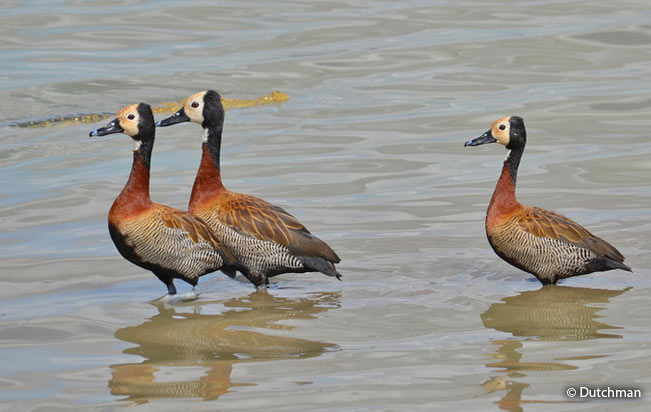 white-faced_whistiling_duck