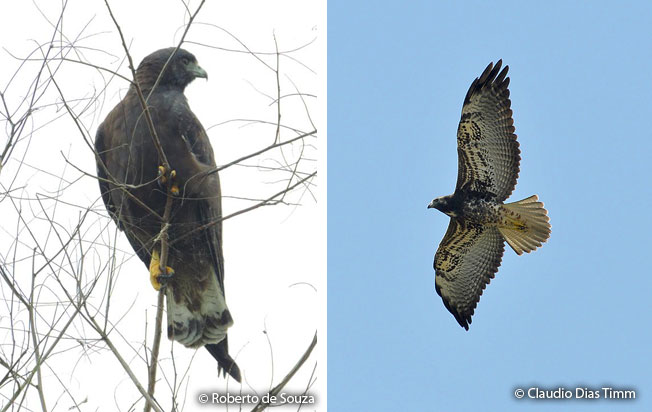 white-tailed_hawk