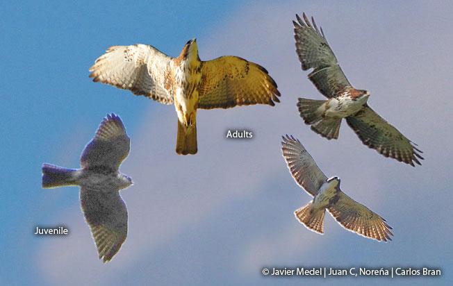 white-browed-hawk