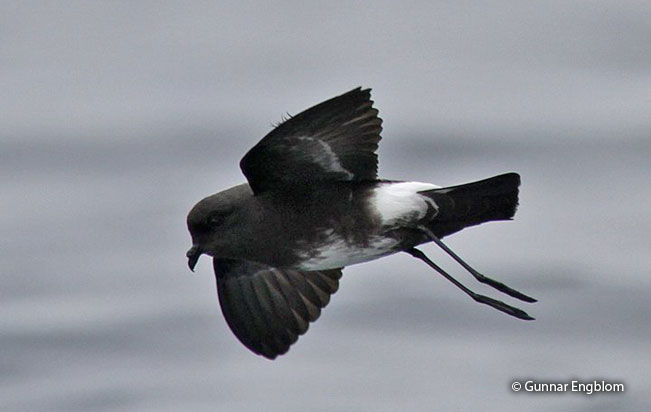 white-vented_storm-petrel