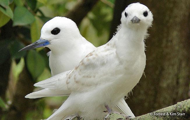 white_tern