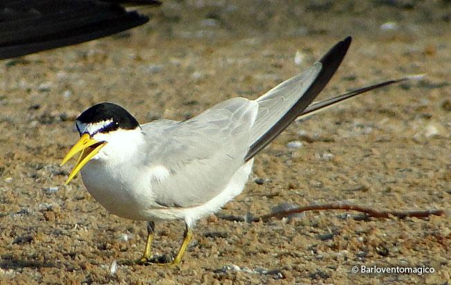 yellow-billed-tern