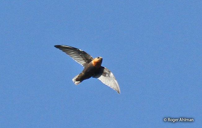Chestnut-collared-swift