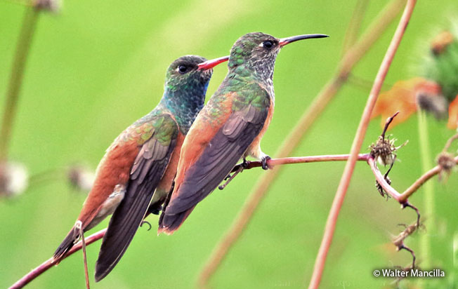amazilia_hummingbird