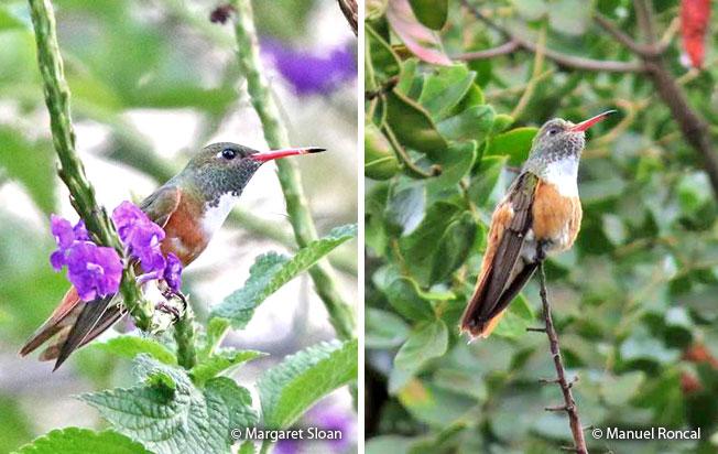 amazilia_hummingbird