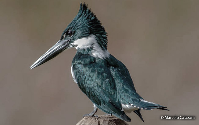 amazon_kingfisher