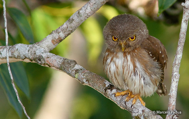 amazonian_pygmy-owl