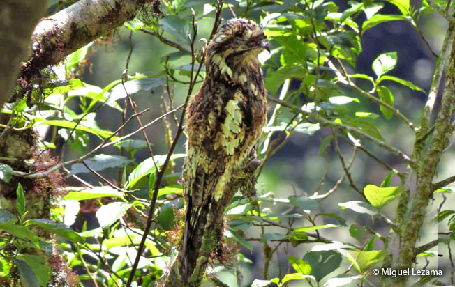 andean-potoo