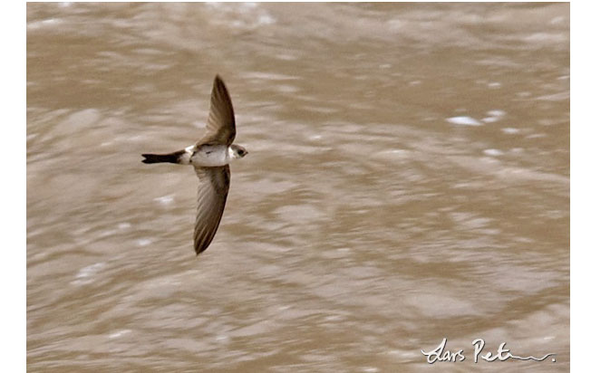 andean-swift