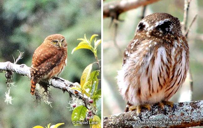yungas_pygmy-owl