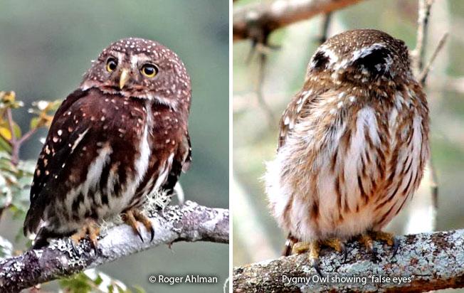 andean_pygmy-owl