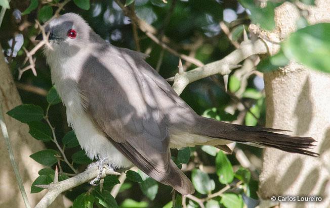ash-colored_cuckoo