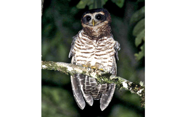 band-bellied-owl