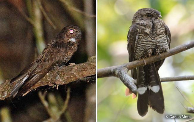 band-tailed_nighthawk