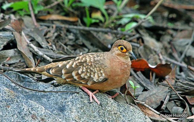 bare-faced_ground-dove