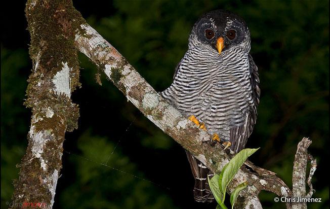 black-and-white_owl
