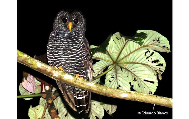 black-banded_owl