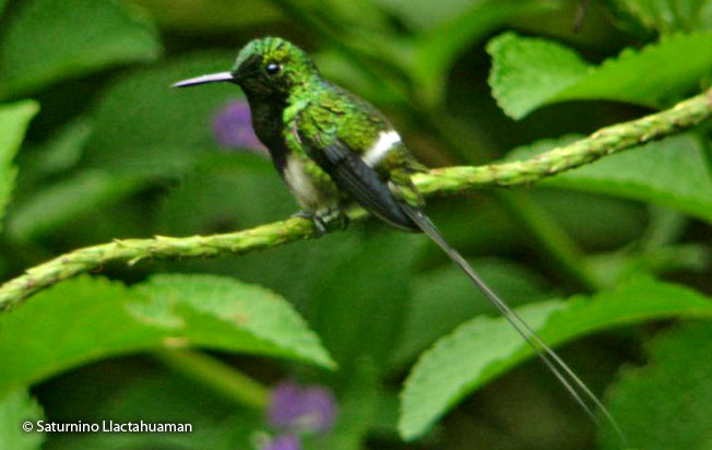 black-bellied_thorntail