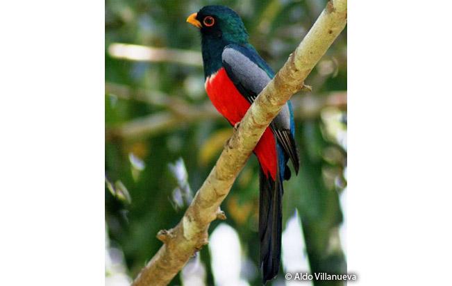 black-tailed_trogon