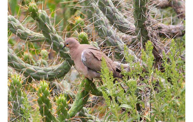 black-winged_ground-dove