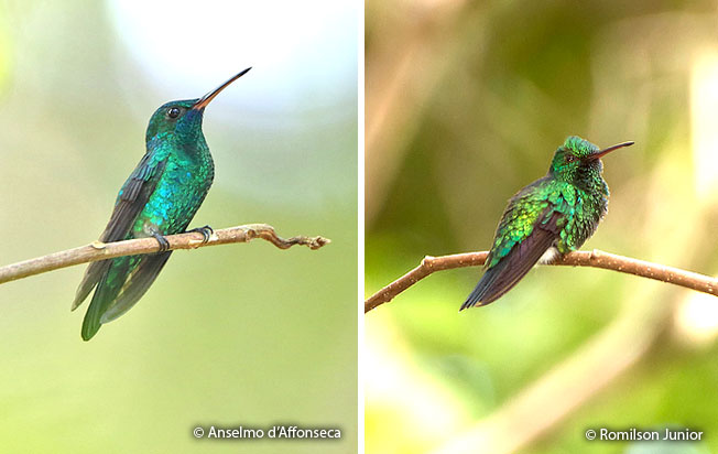 blue-chinned_sapphire
