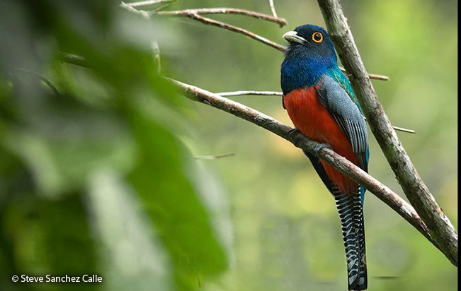 blue-crowned_trogon