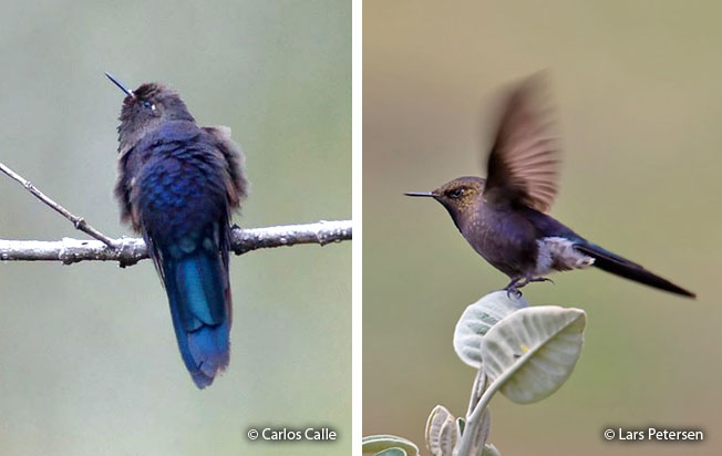 blue-mantled_thornbill