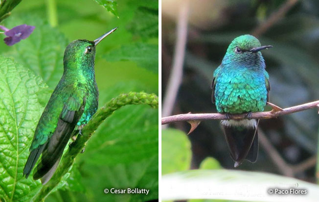 blue-tailed_emerald