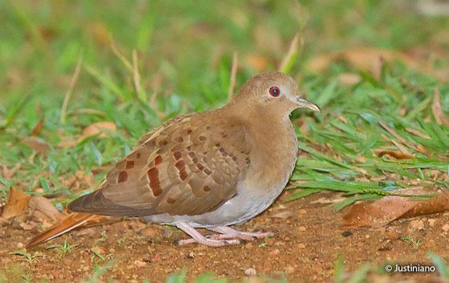 blue_ground-dove