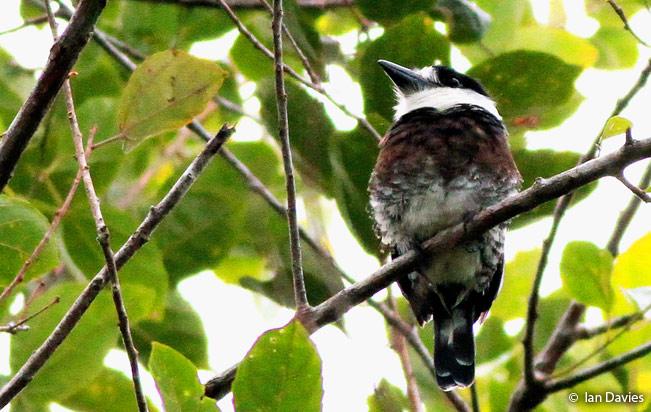 brown-banded-puffbird