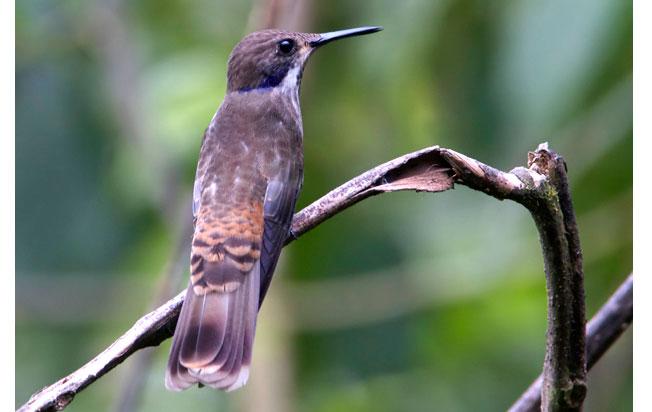 brown-violetear