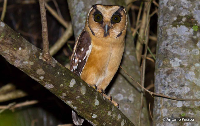 buff-fronted_owl